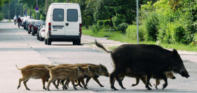 Two German teens treed by wild boars