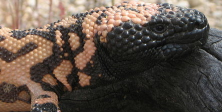 Gila Monsters stolen from Cologne zoo