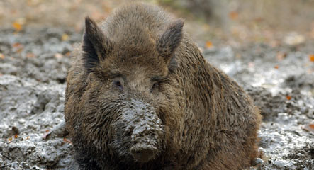 Wild boars cause surge in traffic accidents