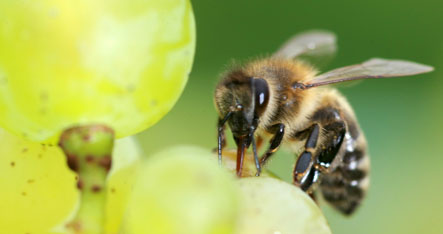 Scientists discover buzzing bees can be used to protect crops