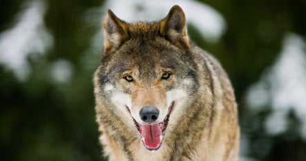 Reward offered for hunter who killed wolf