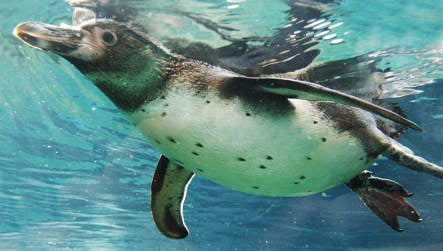 Zoo hails gay penguin couple as foster parents
