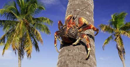 Scientists find giant crabs have evolved sense of smell