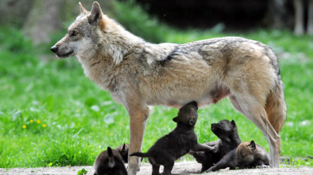 Hunter faces charges for shooting wolf