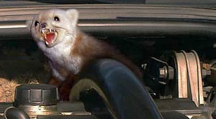 Stone martens are coming for your car