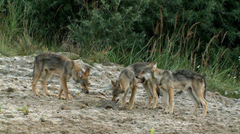 Wolf pup killed by car in Saxony