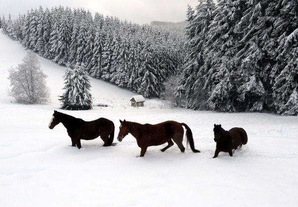 Horses trudge through their snow-covered pasture in Meinerzhagenon Wednesday.Photo: DPA