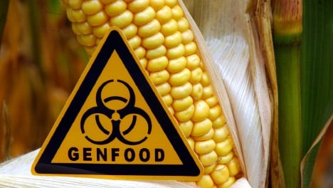 Banned GM corn growing in seven states