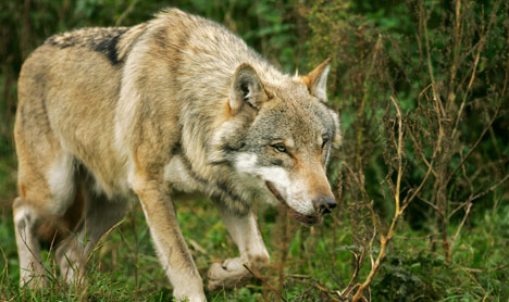 Lambs likely killed by wolves in Brandenburg