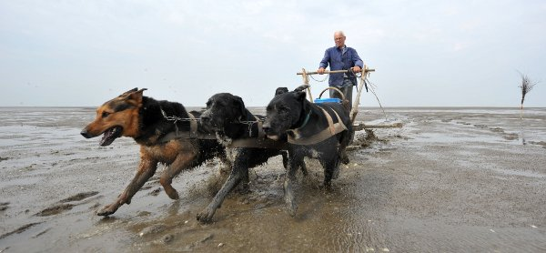 Lone pensioner keeps dog sled crab fishing tradition alive