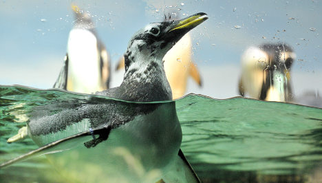 Cologne zoo takes action to protect penguins from foxes