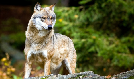 Lone wolf stokes fears in Bavaria