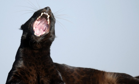 Hunters given permission to shoot marauding panther