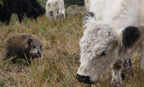 Boar piglet learns to moo with new cow family