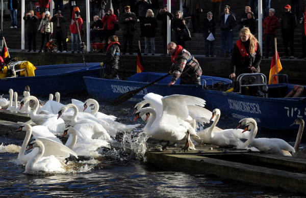 Hamburg's Alster swans brought in for the winter
