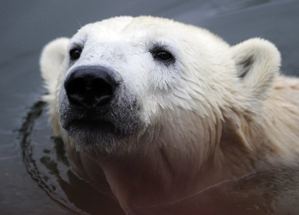 But Knut never seemed completely happy and he appeared to miss human contact.Photo: DPA