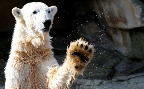 Knut drowned after brain inflammation