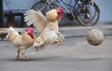 This Chinese bird isn't predicting anything but it has been trained to play football in anticipation of the Women's World Cup.Photo: DPA