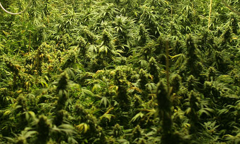 Cannabis plants found in Greens party flower boxes