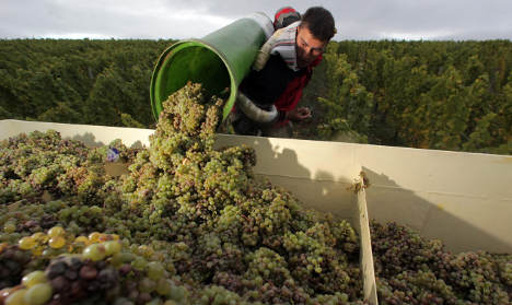Cultivating the king of grapes