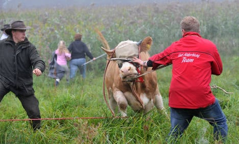 Yvonne the cow forced to give up fugitive life