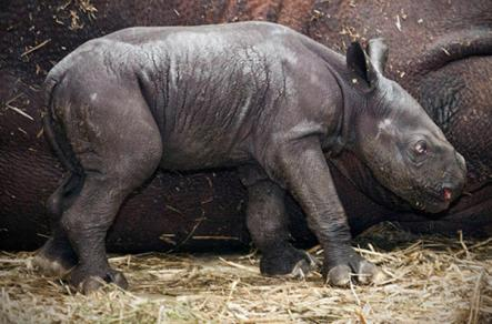 New rhino baby in Magdeburg