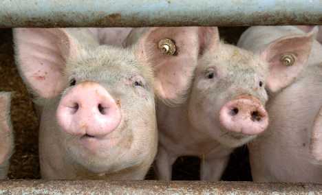 Oniony pig farts legal, court rules