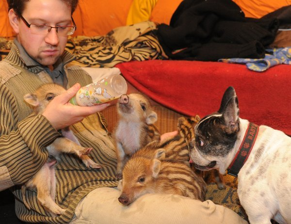 He said the piglets were still very weak and spent most of the time snuggled up next to the dog, sleeping.Photo: DPA