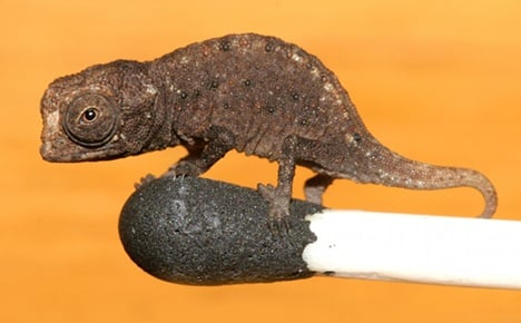 Scientists discover world's tiniest chameleon