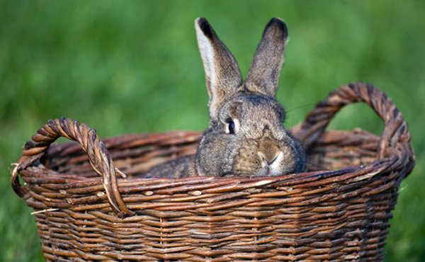 Angsthase<br><i>Angsthase</i> is the German version of 'scaredy cat' - the theory is that rabbits run away from humans because they associate them with all things evil, although scientists are still trying to figure out a way to prove it.Photo: DPA