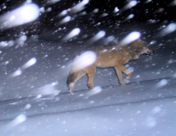 A wild wolf caught in a camera trap set up to photograph lynxes in the Upper Franconia area of Bavaria.Photo: DPA