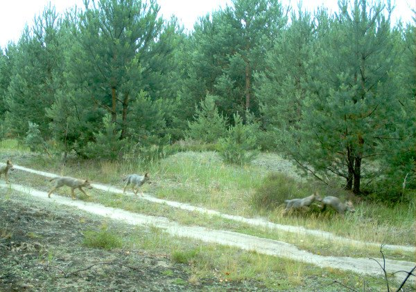 Five young wild wolves in the Lausitz area, north-eastern Germany. Photo: DPA