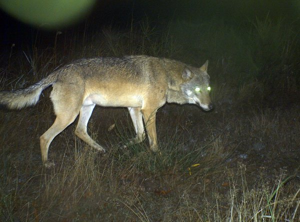 A wild wolf pictured by a camera trap in the troop training ground Altengrabow, Saxony-Anhalt.Photo: DPA