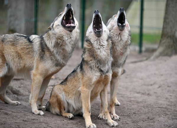 Three wolves at the Wolf Centre near Verden, Lower Saxony.Photo: DPA