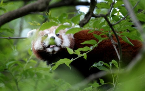 Fire brigade hoses red panda out of tree