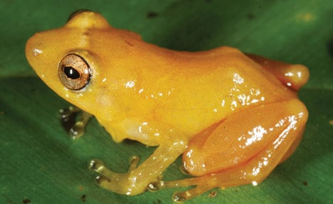 Newly discovered frog turns fingers yellow