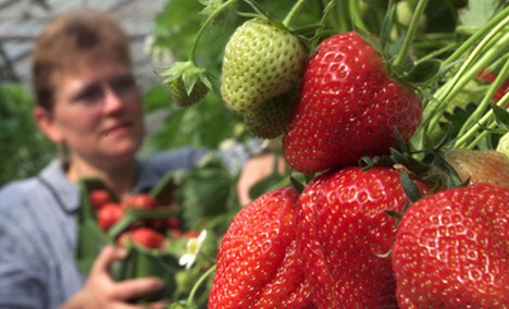 Six out of seven shops sell mouldy strawberries