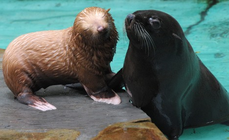 Only albino fur seal in zoo takes to the water