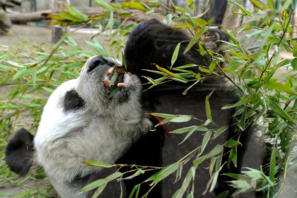 But like most pandas, he preferred bamboo to <i>Brezls</i>. Especially lying on his back.Photo: DPA