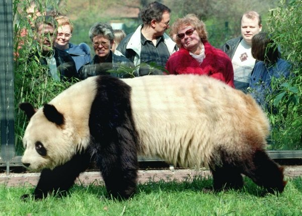 Female Yan Yan arrived in 1995 for a five-year loan from China. But the pair did not hit it off, and visitors to Berlin Zoo were not to enjoy the patter of little paws.Photo: DPA