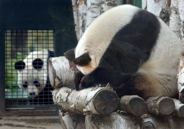 Opinion is divided on who dumped who in the torrid affair, and even a brief experiment with artificial insemination did not bear panda-shaped fruit. Some say Bao Bao was never the same bear again after the electro-ejaculation.Photo: DPA