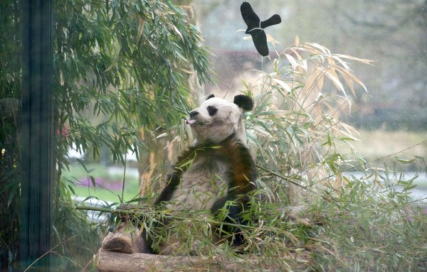 """Bao Bao was nothing if not conscientious. Here he is voluntarily cleaning a bush to save his keepers the bother. """"It's not like I've got much else to do,"""" he would say, in his head.Photo: DPA"""