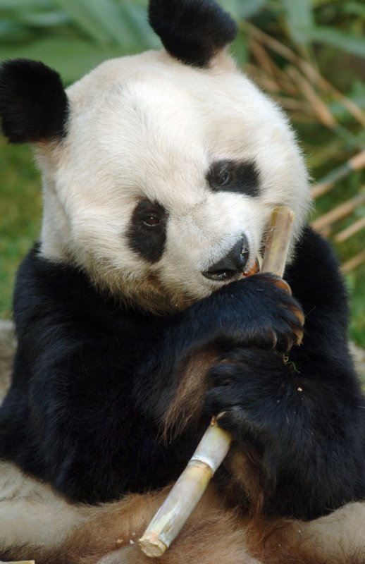 But then he could always cheer himself up with a bit more bamboo. It just never got boring, somehow.Photo: DPA