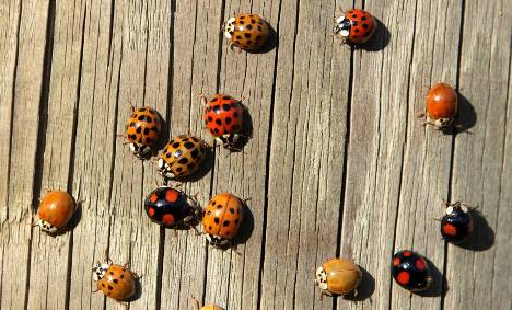 Invasive ladybirds 'could fight malaria and TB'