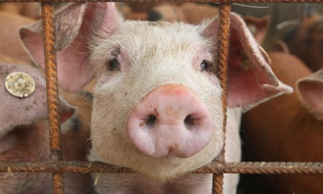 Pig farmers ignore EU animal protection laws