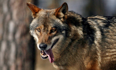 German 'Wolf Town' learns to love its lupus