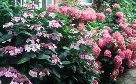 Young Bavarians steal hydrangeas for highs