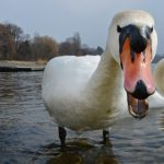 Ruffled feathers get swan dropped from menu