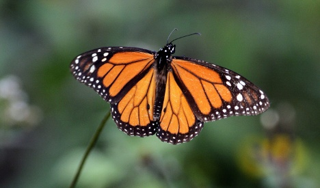 Scientists solve Monarch migration mystery