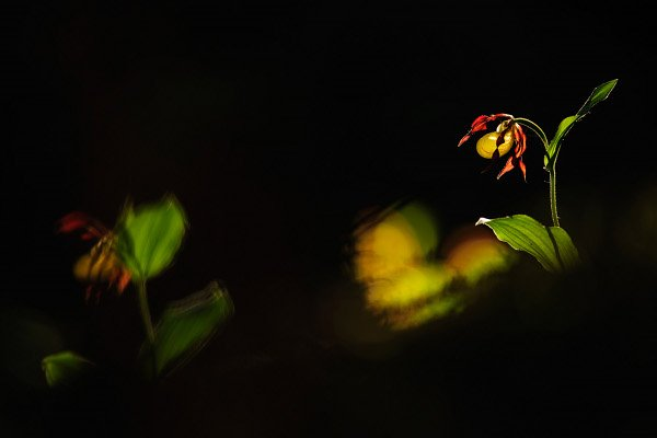 Lady's slipper<br>WInner: Plants and funghiPhoto: Ariane Müller GDT
